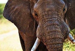 memoria di elefane